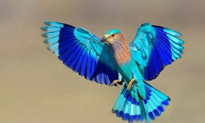 Neelkanth bird