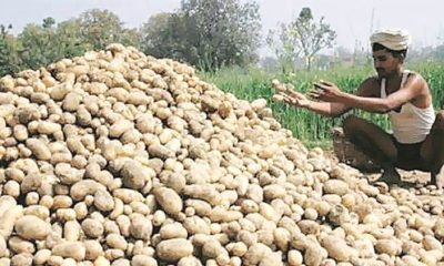 potato-crop
