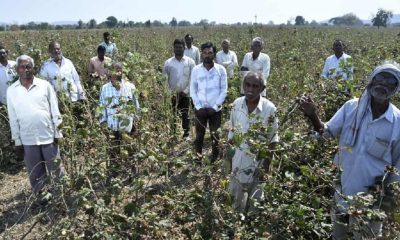 cotton farmers crisis